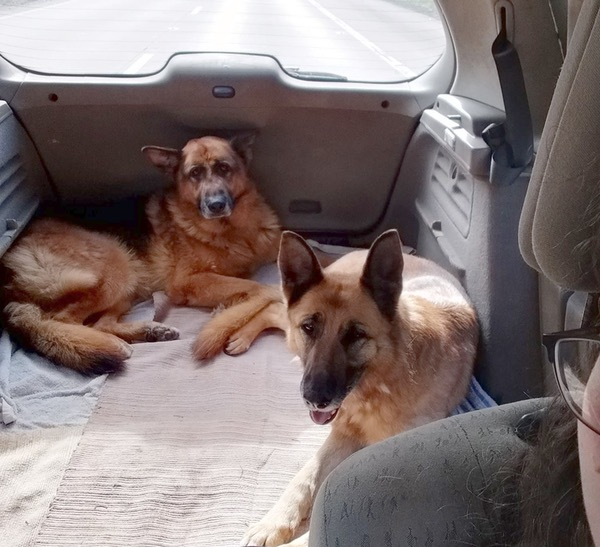Spartacus and Cleo two GSD's looking for a new home together