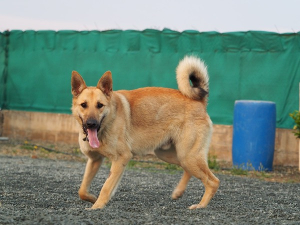 super GSD Spike looking for a new home