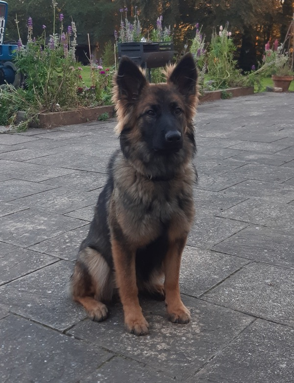 Stunning young female german shepherd