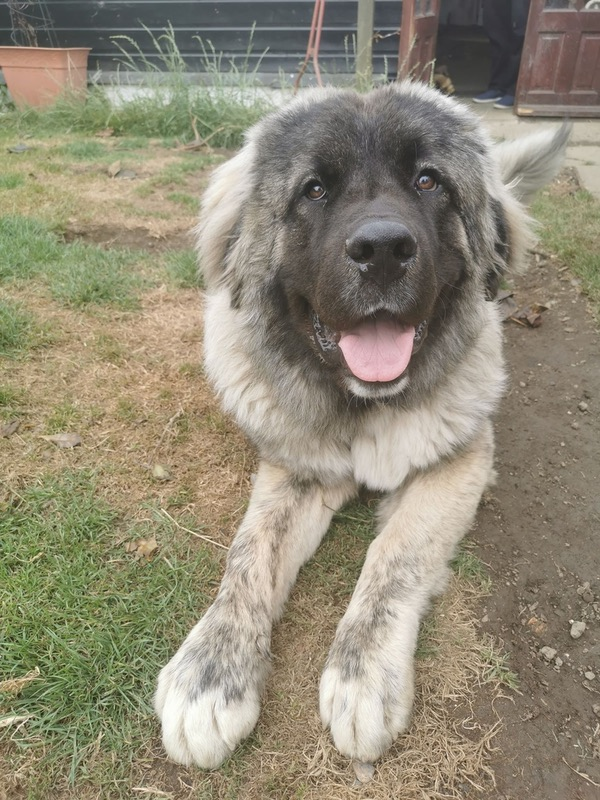 Taz Caucasian Shepherd Looking For A New Home
