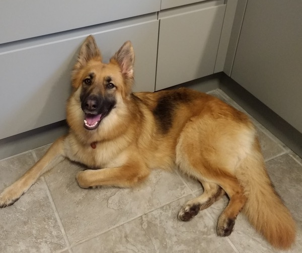 Tinkerbelle pretty gsd looking for a new hom