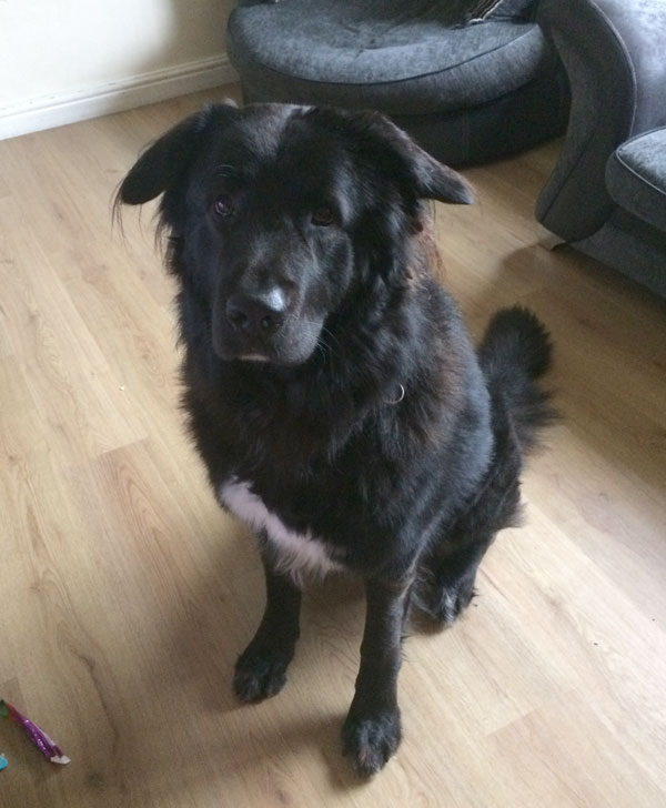 Ty large GSD cross for rehoming