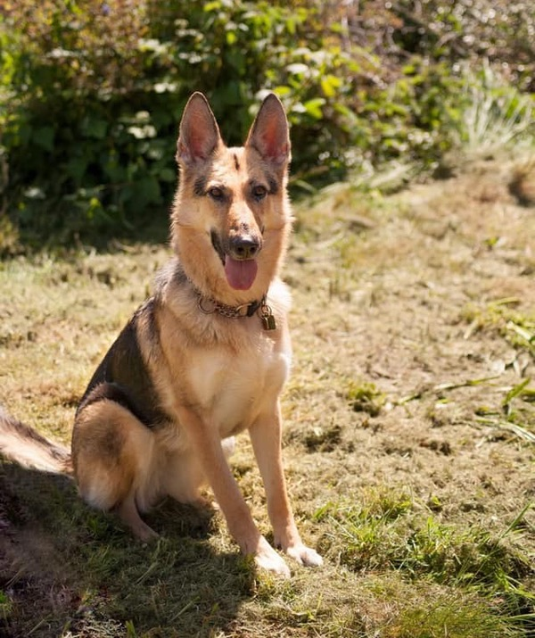 Willow young female GSD needs a home